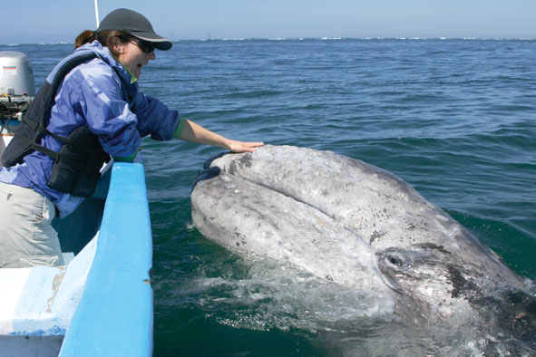 "March 25th  2007. Biosphere Reserve ""El Vizcaino"", San Ignacio Lagoon, San Ignacio,  Baja California Sur (Mexico). Grey whales (Eschrichtius robustus)  breed and give birth in San Ignacio Lagoon. Tourists come from around the world to observe this unique spectacle."